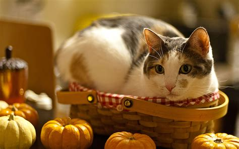 cat wallpaper for windows 7 in the basket cat and pumpkin wallpaper animal