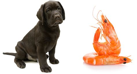 shrimp for dogs can dogs eat shrimp safely when it s cooked prepared or