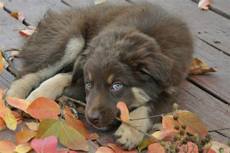 Australian shepherd puppy autumn red