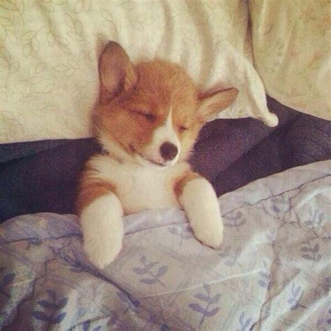 puppy in bed sleeping corgi corgi love