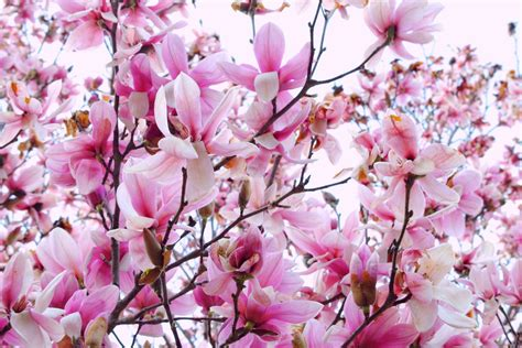 Magnolia Wallpaper by Magnolia Wallpapers Wallpaper Cave