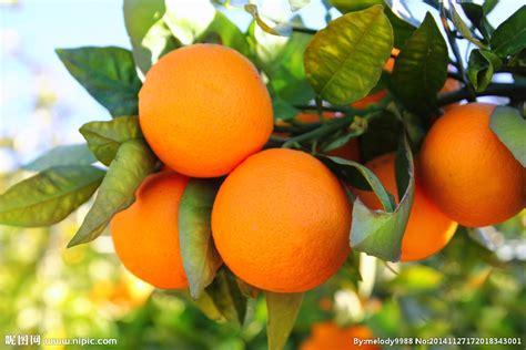 name a fruit that grows on trees 橙子树摄影图 水果 生物世界 摄影图库 昵图网nipic