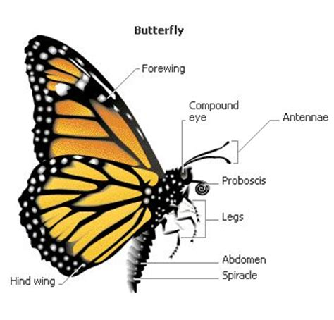 diagram of a butterfly butterfly anatomy butterflies and moths