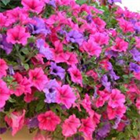 surfinia fiore surfinia surfinia piante annuali coltivare surfinie