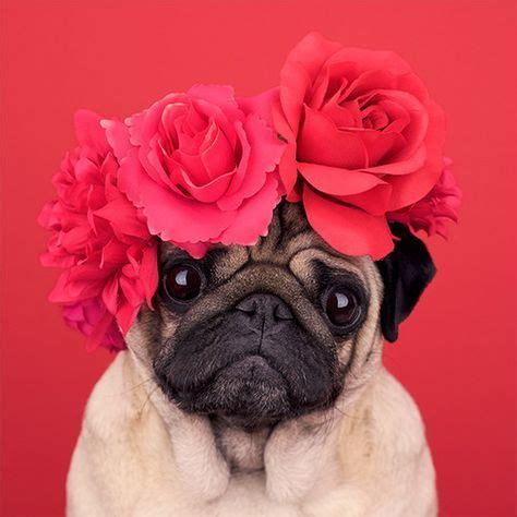 pug a lot of water 3606 best pugs images on doggies pugs and pug dogs