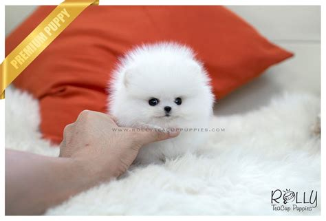 rolly teacup puppies reviews sold to naghi ace pomeranian m rolly teacup puppies