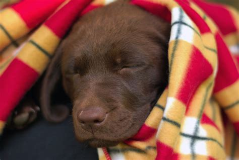 12 week puppy file 12 week choclolate labrador retriever puppy jpg