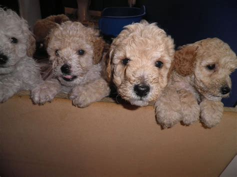 mini poodle for sale miniature poodles for sale cambridge cambridgeshire