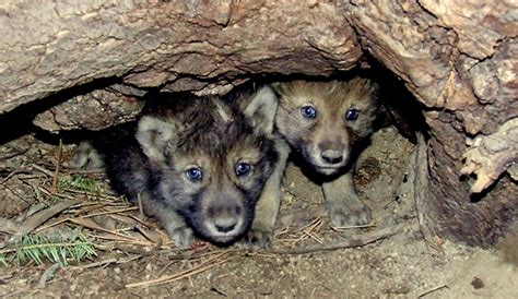 Puppies Born Blind Native Animal Of The Month Gray Wolf