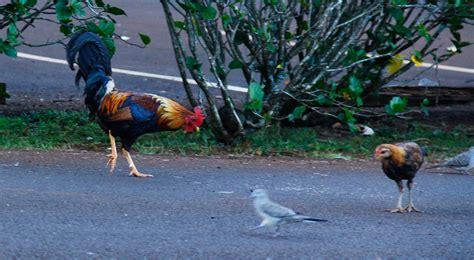 makana boat tours kauai why are there chickens everywhere in kauai makana tours