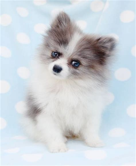 are pomeranians hypoallergenic 17 best ideas about teacup pomeranian husky on baby pomeranian teacup