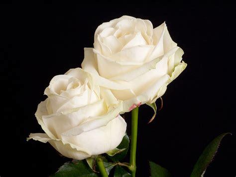 imagenes de rosas blancas naturales rosablanca