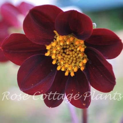 Dahlia Syari Black cosmos x dahlia mexican black cottage plants