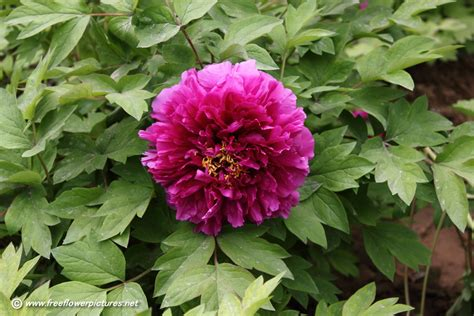 tree peony picture flower pictures 858