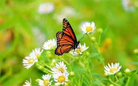 imagenes wallpapers mariposas mariposa en un flores blancas hd 1920x1200 imagenes