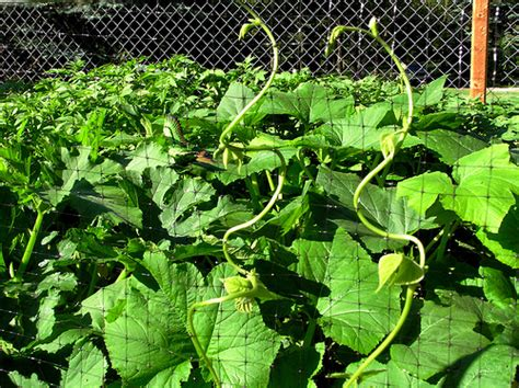 how to plant and grow pole beans bush beans lima beans