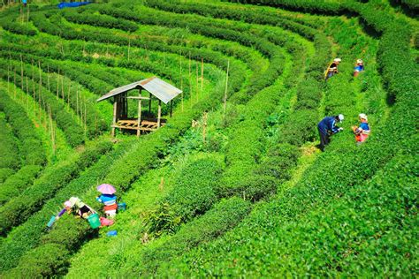 Ta Gardens by Demonetisation Special Dispensation For Assam Tea Garden