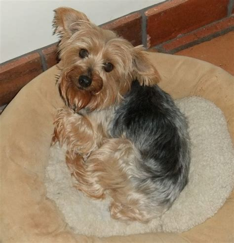 shih tzu and furbaby rescue inc sweetie shih tzus furbabiesshih tzus furbabies
