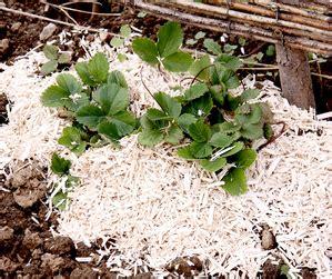 fraisier planter et tailler ooreka