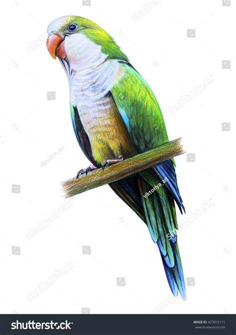 quaker color amazonian parrot drawing monk parakeet stock photo