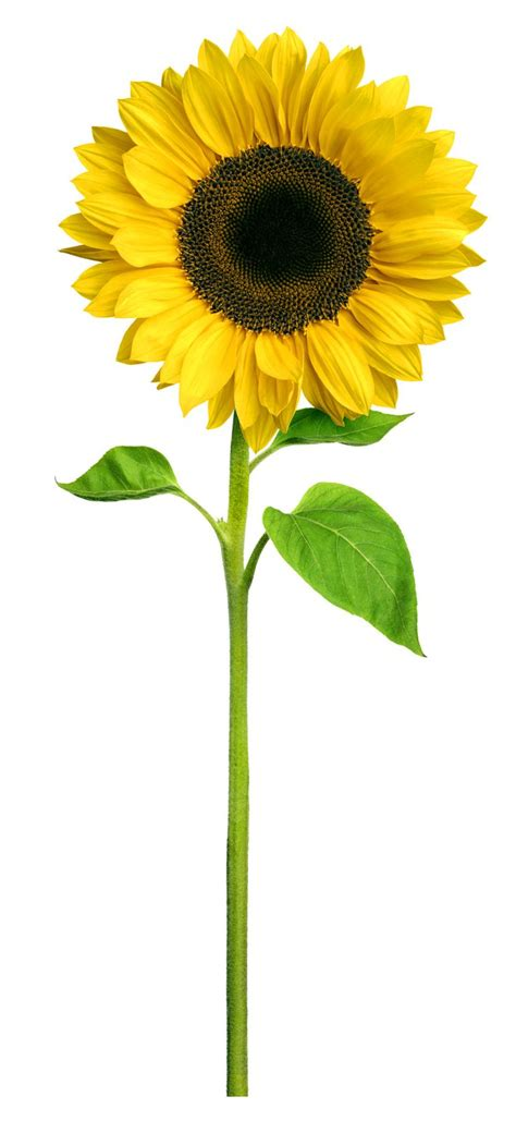 1000  images about Sunflower Hospice on Pinterest