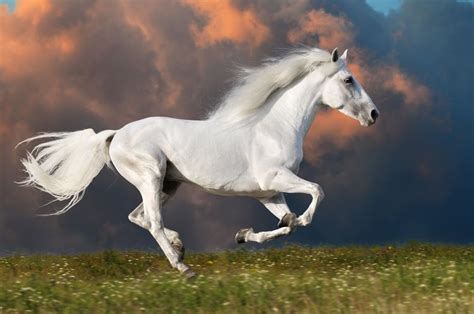 white mustang horse running white horse mustang wild animal nature art poster