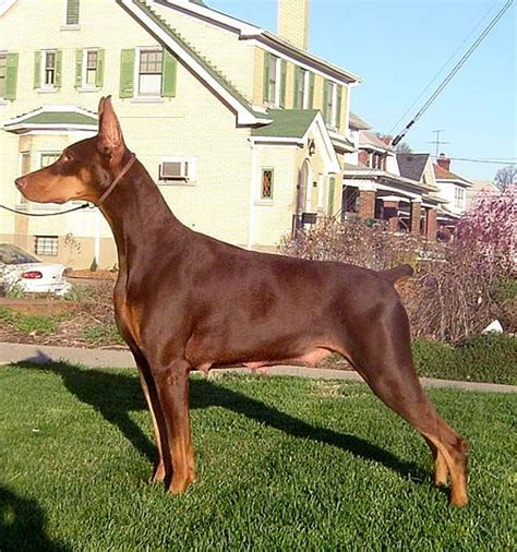 doberman colors genetics akc doberman pinschers for pet and select show