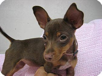 min pin chihuahua mix puppy 17 best images about geno the mini pinscher on chihuahuas miniature and