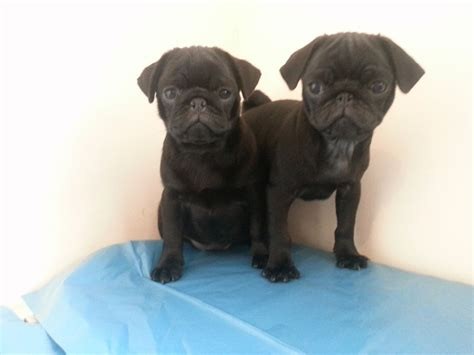 fawn pug puppies for sale uk fawn and black pug puppies for sale wolverhton west midlands pets4homes