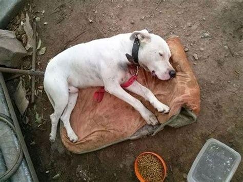 imagenes de animales maltratados las redes sociales ayudan a rescatar a un perro gravemente