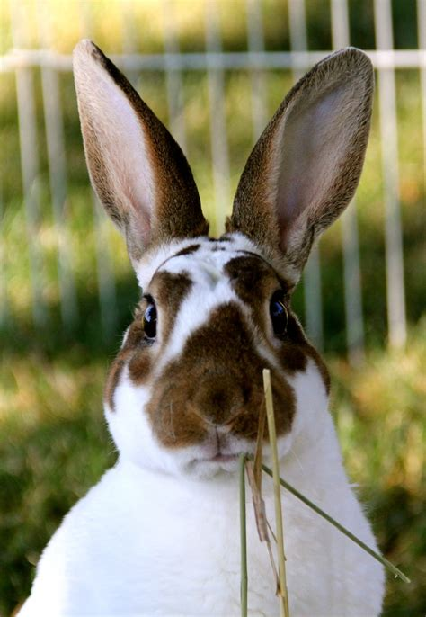 can rabbits see color 18 best images about mini rex rabbits on