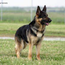 belgian sheepdog adoption german shepherd dog puppies for sale