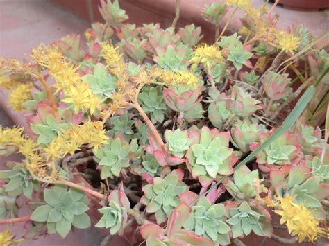 pianta grassa con fiori pianta grassa con fiori gialli come si chiama gpsreviewspot