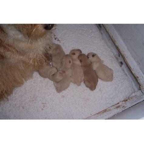 shih tzu puppies for sale derry samstevever in launceston cornwall