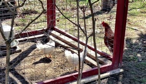 backyard chicken farming government declares farming to be privileged by the state