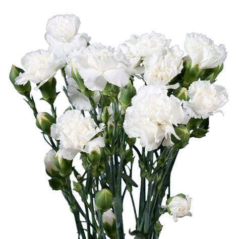 Small Kitchen Lighting Ideas by Globalrose Fresh White Mini Carnations 160 Stems 640