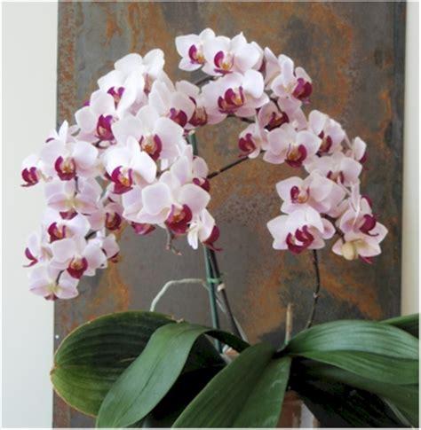 28 best how big do phalaenopsis orchids get 107 best images about phalaenopsis orchids moth