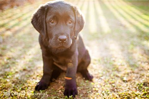 6 week lab puppy 6 week chocolate lab puppies quotes