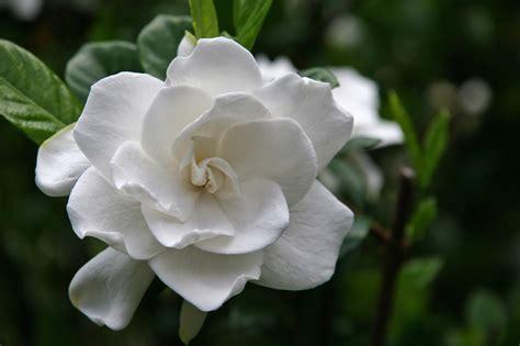 gardenia fiore gardenia pianta molto esigente con fiori bianchi dal
