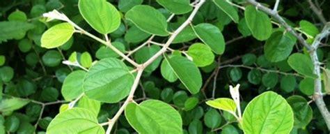Bibit Pohon Bidara Arab Sidr Untuk Ruqyah Pengusir Jin tanaman pohon bidara daftar update harga terbaru dan terlengkap indonesia