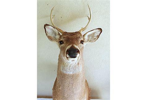 authentic deer head trophy   rustic lodge decor