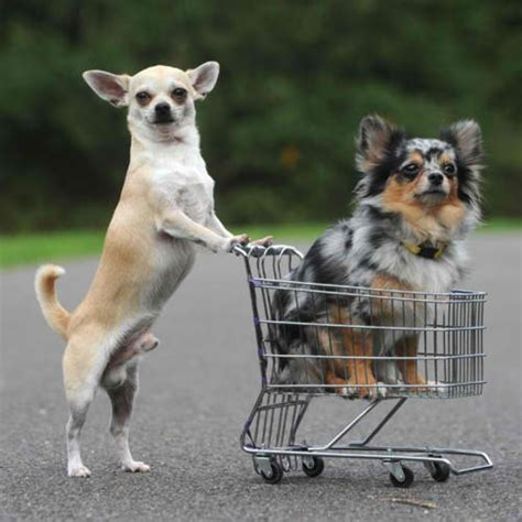 puppy shopping let your do the shopping