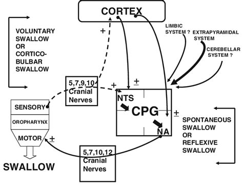 normal pattern generator schematic of the anatomic physiology in normal swallowing