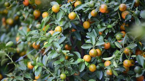 kumquat trees new year kumquat stock footage