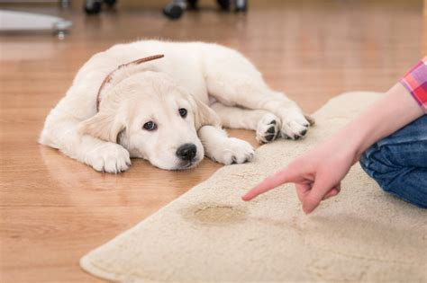How To Clean Dog Pee Out Of Your Carpet E B Carpet Cleaning