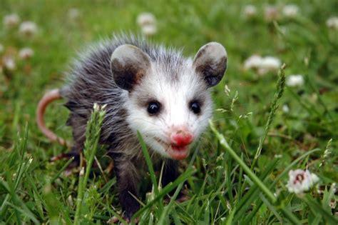 world  animals opossums