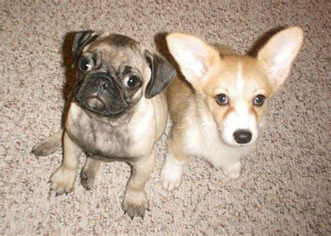 corgi pug pugs and corgis it s a puggy pug world
