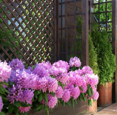rhododendron en pot entretien taille rempotage