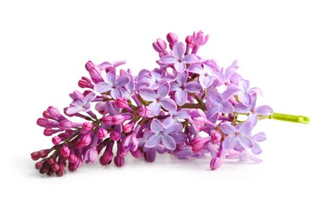 lilac flower meaning lilac flowers www pixshark com images galleries with a