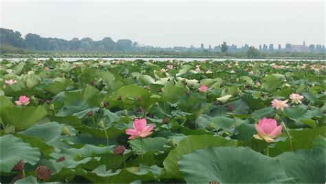 fiori di loto mantova i fiori di loto a mantova tra leggenda e meraviglia